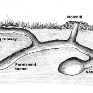 moles tunnel