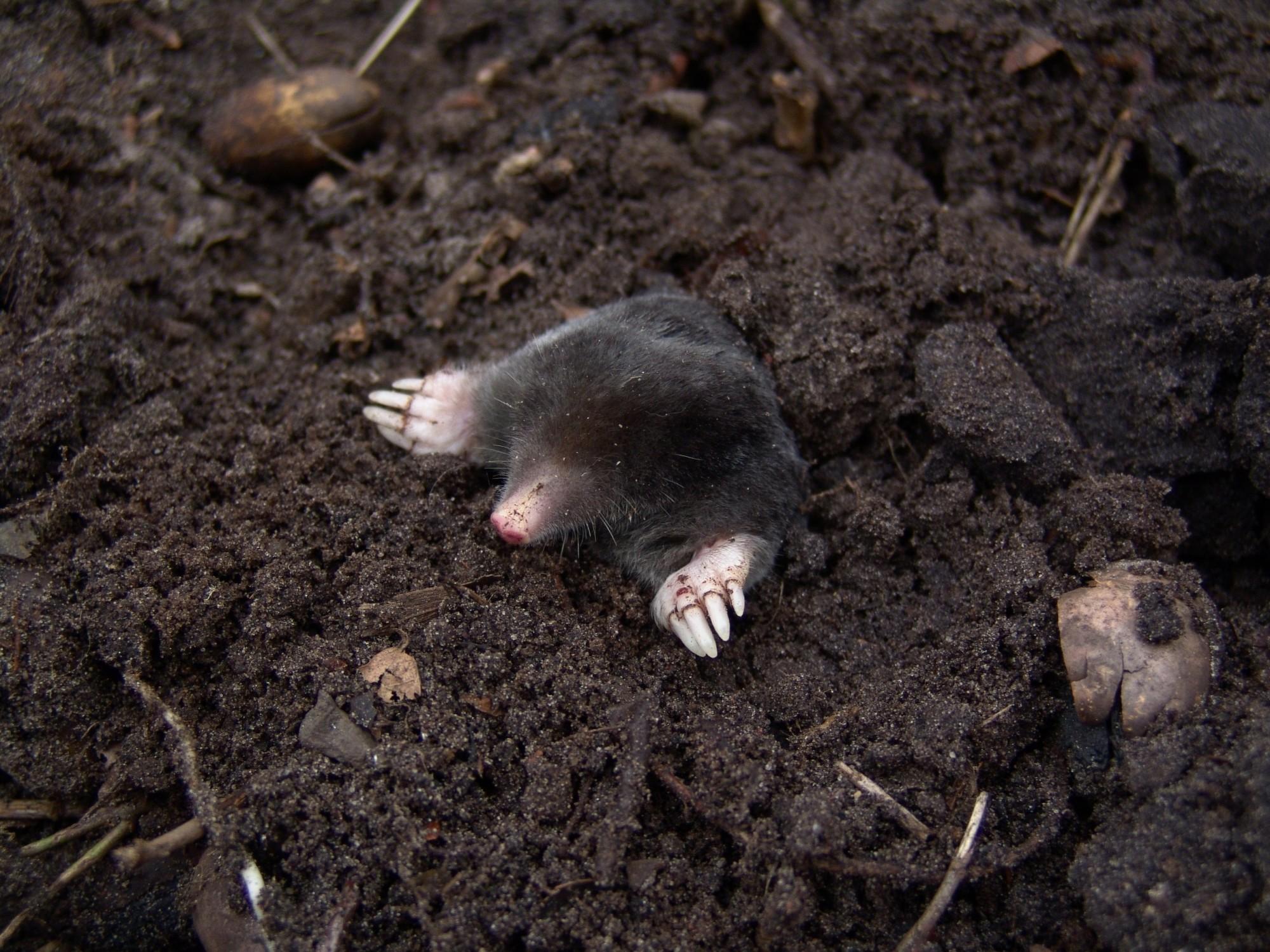mole damage