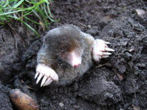 ground mole