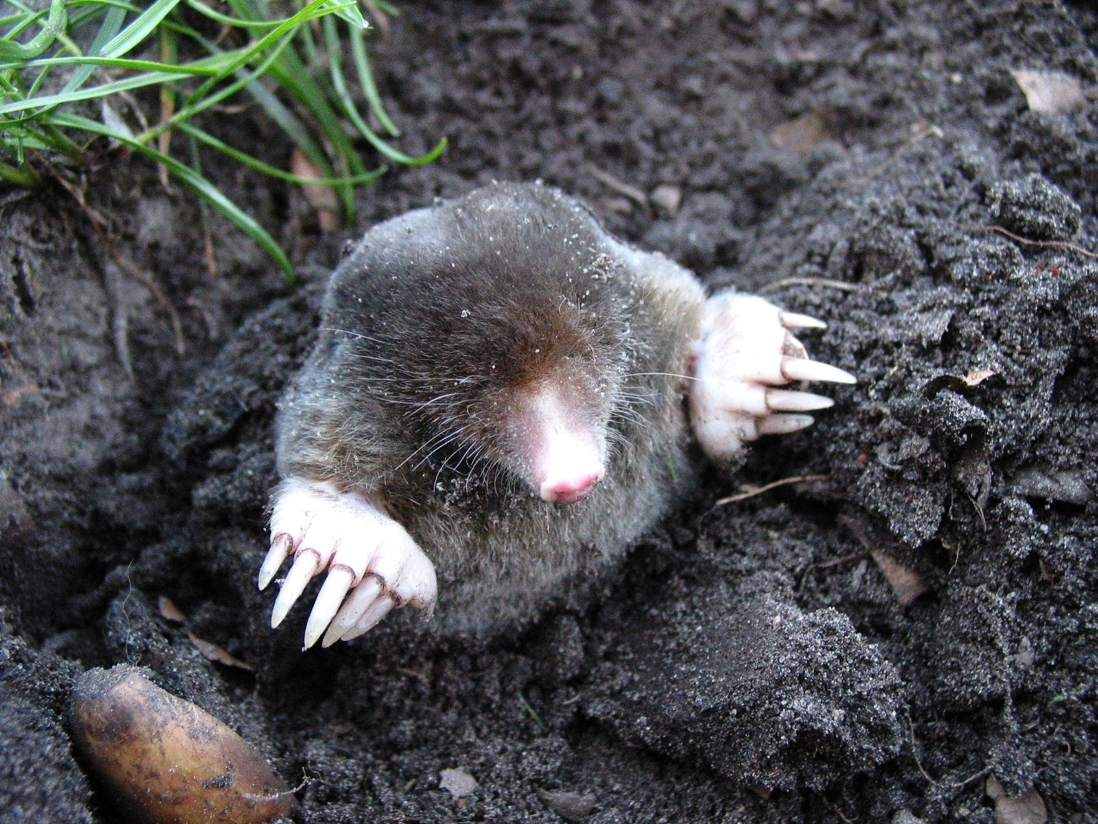 ground mole