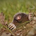 do moles carry diseases