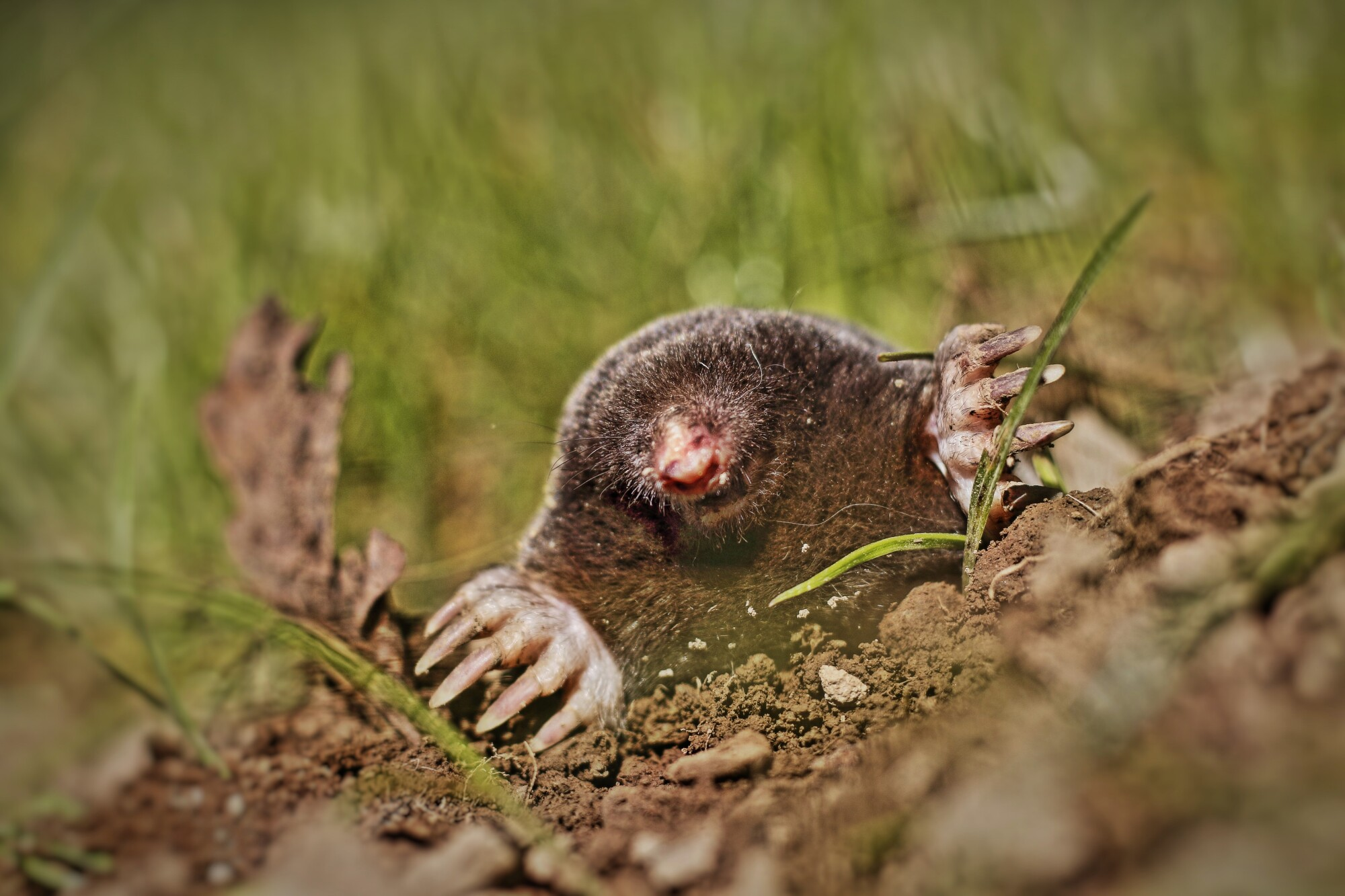 do moles carry diseases