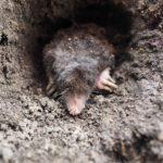 getting rid of Ground Moles