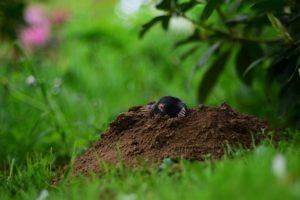 mole extermination